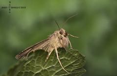 Silver Y Moth (John Chorley) Tags: macro macros macrophotography moth silverymoth springwatch nature johnchorley 2019 closeup closeups
