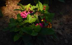 Royal Gardens Burlington.. au Jardind Botanique Royal (Bob (sideshow015)) Tags: fleurs burlington ontario nikon d7100 rose botanique jardins royal ombres minuscule flowers pink botanical gardens shadows tiny