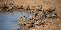Sandgrouse Namaqua (michael heyns) Tags: bird albertenmarietjiefroneman namaquasandgrouse kgalagadi 2019 sandgrouse pteroclesnamaqua pteroclidae