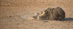Ostrich Common (michael heyns) Tags: bird commonostrich albertenmarietjiefroneman kgalagadi 2019 ostriches struthiocamelus struthionidae