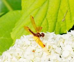 Eastern Amberwing (REGOR NOTPUL) Tags: eastern amberwing dragonfly small glenburnie ontario