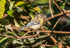 Blue Tit in the bushes (baldychops) Tags: bird tit bluetit bush garden bushes flight fly flying gardenbird sweet outdoor summer twig twigs berkshire nature natural naturalworld