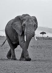 Elephant Stride (Leon Sammartino) Tags: mara masai elephant tusk trunk nose grey mono fine art black white monochrome kenya africa safari wild wildlife travel holiday xmount fujifilm xt3 55200mm telephoto zoom long lens