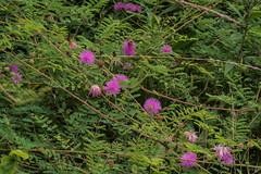 Mimosa microphylla (Littleleaf Sensitive Briar) (jimf_29605) Tags: mimosamicrophylla littleleafsensitivebriar greenvillecounty southcarolina sony a7rii 90mm