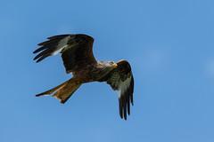 Red Kite (Adam Sibbald) Tags: red kite bird nature wales nikon prey bop 200500 rhayader gigrin d850