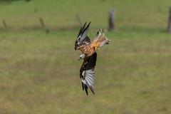 Red Kite (Adam Sibbald) Tags: red kite gigrin rhayader wales nikon d850 200500 nature bird prey bop
