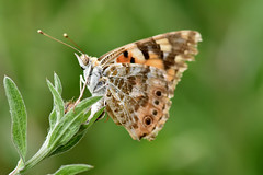 Painted Lady (42jph) Tags: nikon d7200 uk england settle yorkshire dalesinsect flower macro closeup closseup butterfly 105mm f28g edif afs vr micro lens painted lady