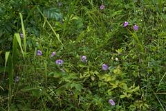 Centrosema virginiana (Spurred Butterfly Pea) (jimf_29605) Tags: centrosemavirginiana spurredbutterflypea greenvillecounty southcarolina sony a7rii 90mm