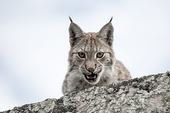 Hungry for you.... (CecilieSonstebyPhotography) Tags: norway catfamily markiii eurasianlynx lynx ef70200mmf28liiisusm langedrag closeup canon5dmarkiii gaupe cat hungry canon eyecontact portrait endangered specanimal