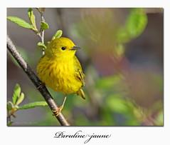 Paruline jaune / Yellow Warbler  153A7428 (salmo52) Tags: oiseaux birds salmo52 alaincharette parulinejaune yellowwarbler parulidés parulidae passériformes bonaventure baiedeschaleurs gaspésie setophagapetechia