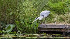 Gone Fishing (Rich Jacques) Tags: greyheron ardeacinerea bird hardwickhall derbyshire nationaltrust naturephotography nature wildlife wildlifephotography