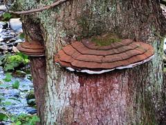 Fungi (scrappy annie) Tags: wharfe wharfedale yorkshire fungi tree river riverbank