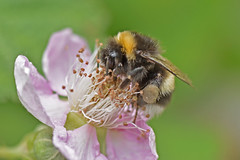 Pollen basket (42jph) Tags: nikon d7200 uk england settle yorkshire dalesinsect flower macro closeup closseup bee pollen basket 105mm f28g edif afs vr micro lens