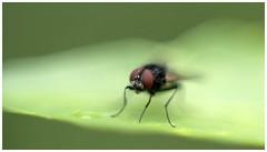 Thirsty (Dieter Voegelin) Tags: fliege fly trinken drinking wasser water makro macro sony ilce7rm3 minolta md50mm zwischenringe extensionrings