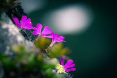 Tatra mountain flowers (mikper) Tags: kasprowywierch polska kwiaty tatras flower mountains tatry berg blommor góry zakopane polen vysokétatry lillpolensvojvodskap