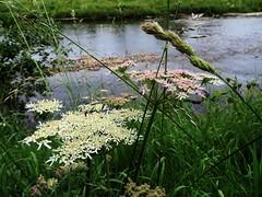 River Wharfe (scrappy annie) Tags: wharfe wharfedale yorkshire river riverbank water flower wildflower