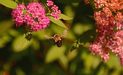 Busy little bee ...Petite abeille trés occupé (Bob (sideshow015)) Tags: occupé petite abeille busy little bee nikon 7100 ontario burlington royal gardens jardin canada