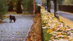 Walking the dog (lebre.jaime) Tags: portugal beira covilhã mountainbotanicalgarden walk dog autumn fall leaves selectivefocus analogic film135 kodak portra400 iso400 canon eoskiss eosrebel ef753004056 epson v600 affinity affinityphoto park