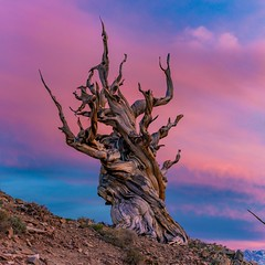 Cotton Candy Sunset Over The Ancient Bristlecone Pine Forest (RS2Photography) Tags: california sky colour tree nature beautiful clouds canon flickr pretty colours natural hiking gnarly cottoncandy twisted smugmug naturephotography unofficial whitemountain discoverytrail canon80d natur bristleconepine ancientbristleconepineforest rs2photography pinuslongaeva bristleconepinetree stone ross rossstone new old pink light sunset red summer orange ancient dusk historic art photography wonky inyo inyocounty