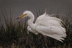 Great Egret (John Maslow) Tags: greategret egret forsyhte refuge wildlife bird newjersey