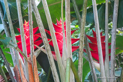 Fleurs de Tahiti