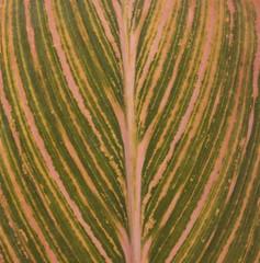 Pink and green HMM (Englepip) Tags: leaf macromondays patterns stripes patternsinnature