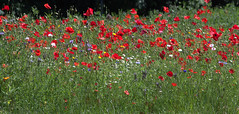 Poppies and Wild Flowers (The Happy Snapping Dog Walker) Tags: flower petal nature colour red green wildflowers natural hampshire canon poppy poppies eos