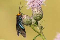 Virginia Ctenucha - Jul-05-2019 (10-1) (JPatR) Tags: 2019 hampshireforestpreserve illinois july summer virginiactenucha insect moth nature waspmoth wildlife