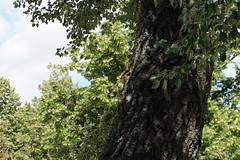 Eichhörnchen in Prag (Sascha Klauer) Tags: sonya7 sonyalpha7 sonyilce7 ilce7 prag praha prague tschechien česká repubblica czech republic letenskápláň squirrel eichhörnchen letnapark tiere animals park baum rinde baumrinde baumstann natur nature