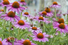 Echinacea/ Sonnenhut (sigi-sunshine) Tags: flowers blumen pink love nature rose happy colorful paradise rosa romance garten farbig liebe bunt paradies purpur fröhlich schneeflären