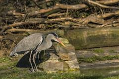 DSC_03611 (azadaama) Tags: animal dutschland bird nikon wild heron germany grugapark