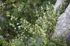 Galium mollugo Lago-Naki July 2018 (Aidehua2013) Tags: galium mollugo rubiaceae gentianales hedgebedstraw lagonaki maikopdistrict adygea russia caucasus