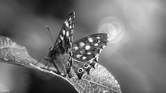 Black And White - 7087 (✵ΨᗩSᗰIᘉᗴ HᗴᘉS✵70 000 000 THXS) Tags: crazytuesdaytheme blackandwhite bw butterfly papillon macro crazytuesday belgium europa aaa namuroise look photo friends be yasminehens interest eu fr party greatphotographers lanamuroise flickering sonydscrx10m4
