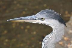 Grey Heron close up (R.K.C. Photography) Tags: greyheron closeup bird wildlife stjamesspark london england unitedkingdom uk canoneos750d heron