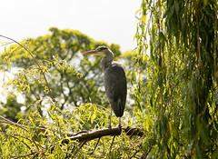 Grey Heron (DarkleMoner) Tags: heron grey bird birdwatch photography photo fauna perched willow wildlife wild wings avian springwatch summer