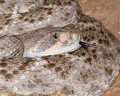 Diamondback at Night (dan.weisz) Tags: snake diamondback westerndiamondbackrattlesnake rattlesnake tucson sabinocanyon