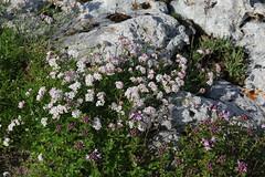 Asperula cf. prostrata Lagonaki July 2018 (Aidehua2013) Tags: asperula rubiaceae gentianales unidentified unidentifiedplant lagonaki maikopdistrict adygea russia caucasus