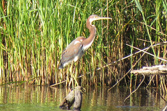 Tricolored Heron (cullerfuls) Tags: bird egrettatricolor wader
