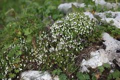 Euphrasia sp., Lago-Naki July 2018 (Aidehua2013) Tags: euphrasia orobanchaceae lamiales unidentified unidentifiedplant lagonaki maikopdistrict adygea russia caucasus