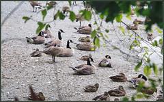 At the Beach (robinlamb1) Tags: nature outdoor animal bird canada geese brantacanadensis mallard anasplatyrhychos brydonlagoon