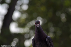 Pigeon (jfinnirwin) Tags: birds backyardbirds parks elizabethnj
