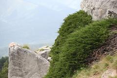 Juniperus sabina Arkhyz July 2018 (Aidehua2013) Tags: juniperus sabina cupressaceae pinales savinjuniper arkhyz zelenchukskydistrict karachaycherkessrepublic russia caucasus