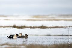King Eider (karenmelody) Tags: usa bird birds animal animals alaska duck unitedstatesofamerica ducks kingeider vertebrate vertebrates anatidae anseriformes salcha somateriaspectabilis nearbarrow