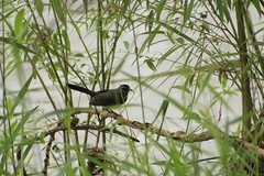 Gray Catbird (Delia Downing) Tags: graycatbird dumetellacarolinensis birds birdwatching