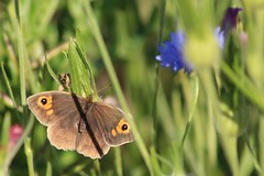 Meadow Brown (oddbodd13) Tags: meadowbrown butterfly lepidoptera insect macro