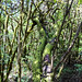 Bäume im Nationalpark Garajonay auf La Gomera, Spanien