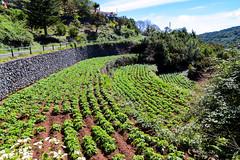 Terraced cultivation area in Agulo on La Gomera, Spain
