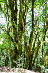 Trees and plants in the Garajonay National Park on La Gomera, Spain