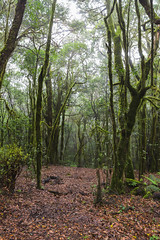 Lorbeerwald im Nationalpark Garajonay auf La Gomera, Spanien