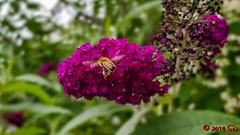 Biene am Sommerflieder (Stefan's Gartenbahn) Tags: rose rosenblütenknospe rosen rosenblüte rosenbeet rosenblüten rosenblütenknospen ladyemmahamilton garten garden steffis gartenservice blüte pflanze plant natur nature makro macro hibiskus eibisch hibiscus malvaceae malvengewächs sommerflieder schmetterlingsflieder fliederspeer schmetterlingsstrauch biene